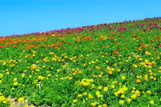 flowerfield2